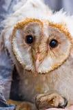 Ung owl Royaltyfri Fotografi