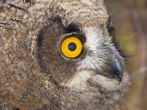 Ung owl Royaltyfri Bild