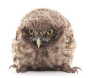 Ung owl Arkivfoto
