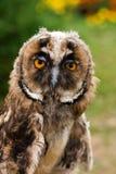 Ung owlstående fotografering för bildbyråer