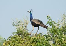 Ung påfågelstart som flyger Royaltyfria Bilder