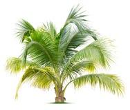 Ung palmträd Royaltyfri Fotografi
