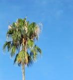 Ung palmträd mot himlen. Royaltyfri Foto