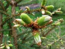 Ung pine& x27; s-kottar arkivfoto