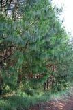 Ung Pinecone-koloni Arkivbilder