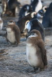 Ung pingvin Royaltyfria Foton