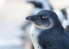 Ung pingvinstående arkivbilder