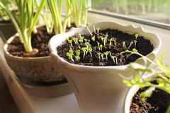 Ung planta som växer i kruka Royaltyfri Bild