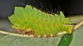 Ung Polyphemus larv på baksidan av ett ekblad arkivfoto