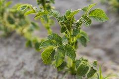 Ung potatis på jordräkningen växtnärbild De gröna forsarna av unga potatisväxter som spirar från leran i royaltyfria foton