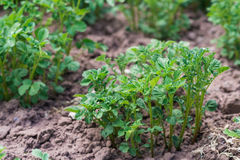 Ung potatisbuske på jordningen Royaltyfri Bild