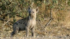 Ung prickig hyena - Kruger nationalpark