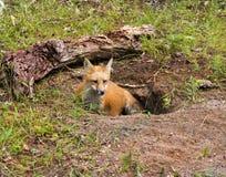 Ung röd räv i håla Fotografering för Bildbyråer