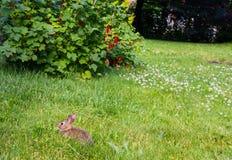 Ung rabbitt och röda vinbär Royaltyfri Fotografi