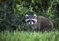 Ung Raccoon Royaltyfria Bilder