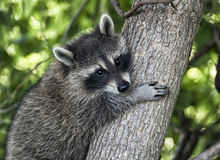 Ung Raccoon Royaltyfri Foto