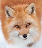 Ung röd räv som ser upp på kameran Royaltyfri Bild