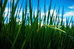ung Rice Fotografering för Bildbyråer