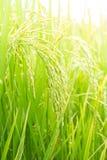 ung Rice Arkivfoton