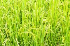 ung Rice Royaltyfria Foton