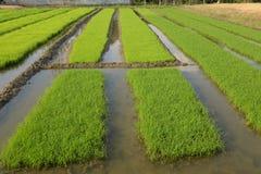 Ung rice som kärnar ur i en bevattna. Royaltyfri Fotografi