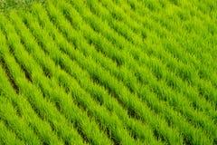 Ung risfält i den Bali ön royaltyfri bild