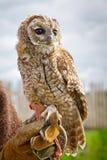 Ung örn-owl stående Royaltyfria Foton