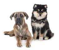 Ung rottingcorso och finska Lapphund royaltyfri foto