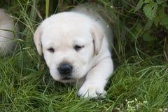 Ung söt labrador valp Arkivfoto