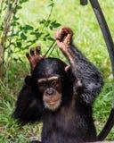 Ung schimpans Arkivbilder