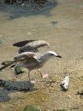 Ung Seagull med fisken arkivfoton