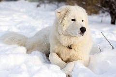Ung Sheepdogstående för vit royaltyfri foto
