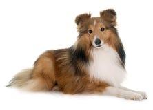 Ung shetland hund royaltyfri bild