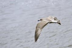 Ung slående och vända för Seagull Royaltyfria Foton