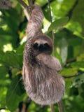 Ung sloth Fotografering för Bildbyråer