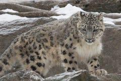 Ung snöleopard Royaltyfri Foto