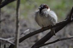 Ung sparrow royaltyfri bild