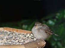 Ung sparv på fågelförlagemataren Royaltyfria Bilder