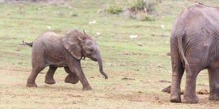 Ung spring för afrikansk elefant Arkivbilder