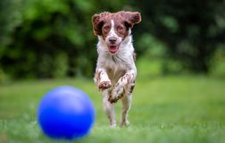 Ung Springerspaniel som har gyckel som jagar en blå boll över gräsmattan royaltyfria bilder