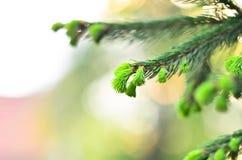 Ung spruce fotografering för bildbyråer