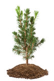 Ung spruce sapling arkivfoto