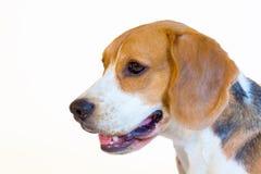 Ung stående för beaglehundstudio Arkivbilder