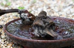 Ung stare- och gråsparvbadning Royaltyfri Bild