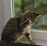 Ung stilig strimmig kattkatt hemma Royaltyfri Foto