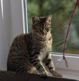 Ung stilig strimmig kattkatt hemma Royaltyfria Bilder