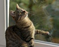 Ung stilig strimmig kattkatt hemma Fotografering för Bildbyråer