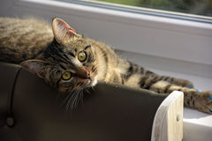 Ung stilig strimmig kattkatt hemma Royaltyfri Fotografi