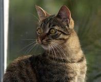 Ung stilig strimmig kattkatt hemma Arkivbild