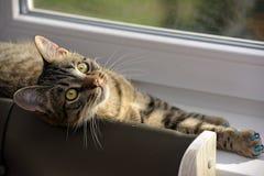 Ung stilig strimmig kattkatt hemma Arkivbilder